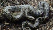 Burmese-Python-.jpg